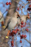 Bohemian Waxwing. A Bohemian Waxwing perched on a berry filled branch of a flowering crabapple tree in Littlefork, MN during winter Stock Photos