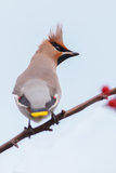 Bohemian Waxwing. Bombycilla garrulus in the netherlands royalty free stock image
