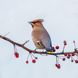 Bohemian Waxwing. Bombycilla garrulus in the netherlands royalty free stock images