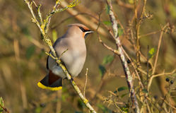 Bohemian Waxwing Stock Images