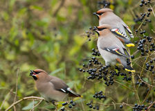 Bohemian Waxwing. Bombycilla garrulus in Holland royalty free stock images