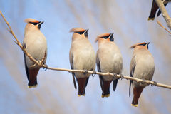 Bohemian Waxwing. Four Bohemian Waxwing stand on branch. Scientific name: Bombycilla garrulus stock images