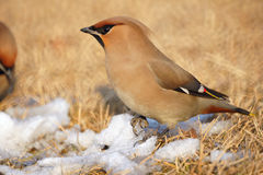 Bohemian Waxwing. The close-up of Bohemian Waxwing. Scientific name: Bombycilla garrulus stock photography