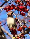 Bohemian Waxwing. On a branch of apple tree in winter Royalty Free Stock Photo