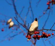 Bohemian Waxwing. On a branch of apple tree in winter Royalty Free Stock Image