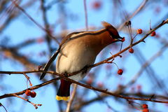 Bohemian Waxwing. On a branch of apple tree in winter Stock Images