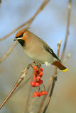 Bohemian Waxwing. The Bohemian Waxwing, Bombycilla garrulus, sits on a branch of a European Mountain Ash, Sorbus aucuparia stock images