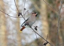 Bohemian Waxwing. Swallowing a berry Royalty Free Stock Photo