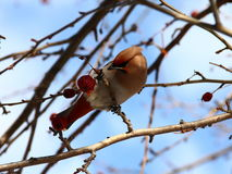 Bohemian Waxwing on apple tree Stock Photo