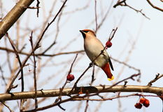 Bohemian Waxwing on apple tree Stock Image