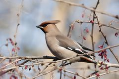 Bohemian waxwing on barberry bush. Bohemian waxwing sitting and feeding on barberry bush. Beautiful insolent migrant birds with nice voice. Bird in wildlife stock photography