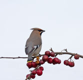 Bohemian Waxwing and berries Royalty Free Stock Photo