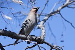 Bohemian Waxwing bird perched on a branch on the spring stock photos