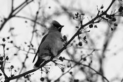 Bohemian Waxwing. Black-and-white photo of Bohemian Waxwing on a branch of apple tree in winter Stock Images