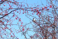 Bohemian Waxwing. Eating frozen apples stock images