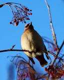 Bohemian Waxwing. Eating red berries on tree branch stock photos