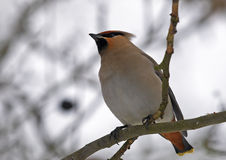 Bohemian Waxwing (Bombycilla garrulus). Bohemian Waxwing sitting on branch Royalty Free Stock Photos