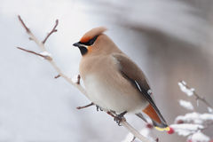 Bohemian Waxwing ( Bombycilla Garrulus ) Royalty Free Stock Photography