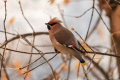 Bohemian waxwing perching on twig with light blurred background royalty free stock images
