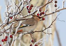 The Bohemian waxwing Bombycilla garrulus with a berry in its beak royalty free stock photography