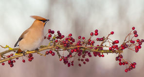 Bohemian Waxwing - Bombycilla garrulus. Feeding on berries Royalty Free Stock Photography