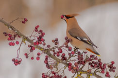 Bohemian Waxwing - Bombycilla garrulus. Feeding on berries Stock Photos