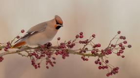 Bohemian Waxwing - Bombycilla garrulus. Feeding on berries Stock Images