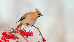 Bohemian Waxwing - Bombycilla garrulus. Feeding at rowan berries Stock Images