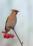 Bohemian Waxwing - Bombycilla garrulus. Feeding at rowan berries royalty free stock images