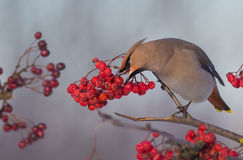 Bohemian Waxwing - Bombycilla garrulus. Feeding at rowan berries royalty free stock photo