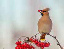 Bohemian Waxwing - Bombycilla garrulus. Feeding at rowan berries Royalty Free Stock Photo