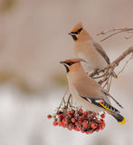 Bohemian Waxwing - Bombycilla garrulus. Feeding at rowan berries Royalty Free Stock Images