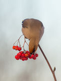Bohemian Waxwing - Bombycilla garrulus. Feeding at rowan berries Stock Photos