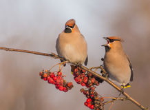 Bohemian Waxwing - Bombycilla garrulus. Feeding at rowan berries Royalty Free Stock Image