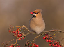 Bohemian Waxwing - Bombycilla garrulus. Feeding at rowan berries Stock Photography
