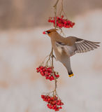 Bohemian Waxwing - Bombycilla garrulus. Feeding at rowan berries Royalty Free Stock Photos