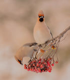 Bohemian Waxwing - Bombycilla garrulus. Feeding at rowan berries Stock Image