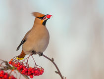 Bohemian Waxwing - Bombycilla garrulus. Feeding at rowan berries Stock Photo