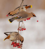 Bohemian Waxwing - Bombycilla garrulus. Feeding at rowan berries Royalty Free Stock Photography