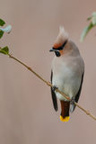Bohemian Waxwing (Bombycilla garrulus). Perched on a twig Stock Images