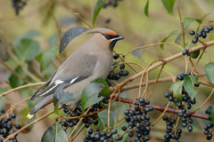 Bohemian Waxwing (Bombycilla garrulus). Perched on a twig Royalty Free Stock Photography