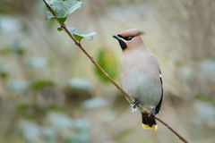 Bohemian Waxwing (Bombycilla garrulus). Perched on a twig Stock Photography