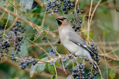 Bohemian Waxwing (Bombycilla garrulus) Stock Photo