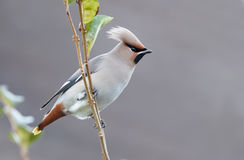 Bohemian Waxwing (Bombycilla garrulus). Perched on a twig Royalty Free Stock Image