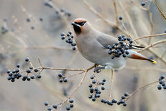 Bohemian Waxwing (Bombycilla garrulus) Royalty Free Stock Photo