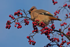Bohemian Waxwing. (Bombycilla garrulus) sitting on the hawthorn stock photography