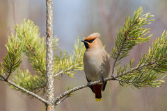 Bohemian waxwing. (Bombycilla garrulus) in a small pine tree on a sunny spring day Royalty Free Stock Images