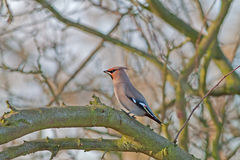 Waxwing. Bohemian Waxwing (Bombycilla garrulus) on a tree Stock Images