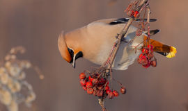 Bohemian Waxwing - Bombycilla garrulus. In winter at a birds feeder stock images