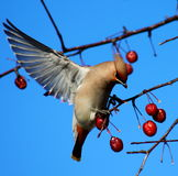 Bohemian Waxwing. On a branch of apple tree in winter Royalty Free Stock Images